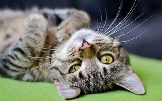 Как научиться мурчать как кошка