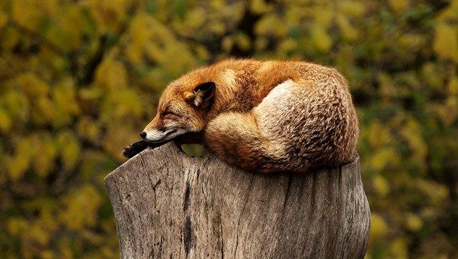лиса спит на пеньке